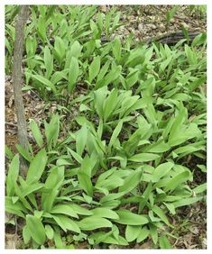 The Foraged Foodie: Foraging: Identifying and Sustainably Harvesting Ramps