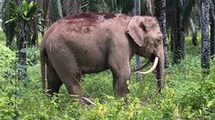 Aparece en Malasia un extraño elefante 'dientes de sable' con los colmillos…