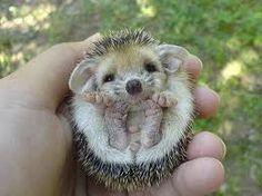 baby hedgehog -  how cute is that.