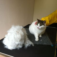 No, not two cats, but Koos at the cat groomer... Huge difference!
