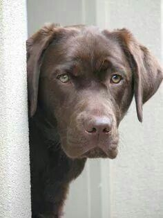 choc lab looks just like my 10 month old Barney Handsome Boy. But pain in the ass all he wants to do is play what a wounderful thing.
