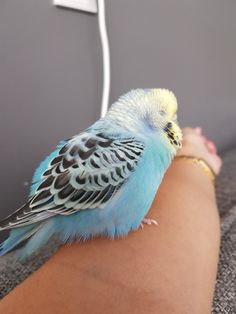 1237 Best Budgies images in 2019 | Beautiful birds, Budgies