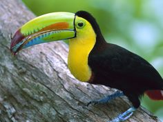 Keel-Billed Toucan.  It is best known for it's large bill. It is the most colorful bill in the bird world. They  are found in tropical and sub-tropical rainforests from Mexico to Venezuela and Columbia.