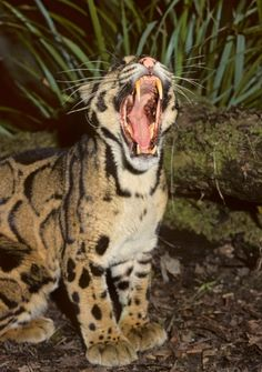 Clouded Leopard, the smallest of the Big Cats, or the biggest of the small cats. Nature Animals, Animals And Pets, Cute Animals, Cheetahs, Beautiful Cats, Animals Beautiful, Mon Zoo, Gato Grande, Clouded Leopard