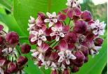 A great piece of information on milkweed.