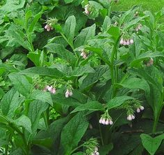 Comfrey is a nutrient accumulator, speeds compost, breaks up clay soils and is very easy to propagate by division or root cuttings. Herbalists have long used it as a poultice for skin inflammation, muscle pains and even broken bones. Is your arm snapped in two? Just rub some comfrey on it, but don't eat this plant - it's bad for your liver.