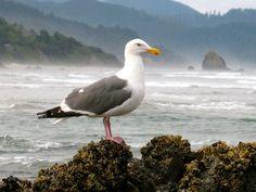 Cannon Beach, Oregon. Bird at Haystack