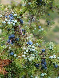 Jałowiec (Juniperus L.) – rodzaj roślin iglastych należący do rodziny cyprysowatych, jedyny występujący w polsce. Liczy ok. 50–71 gatunków, z których w Polsce w warunkach naturalnych występują 2. Rodzaj należy obok sosen do najbardziej rozpowszechnionych przedstawicieli iglastych na Ziemi. Jałowce rosną w strefie klimatu umiarkowanego i subpolarnego na wszystkich kontynentach półkuli północnej, a także w górach w strefie międzyzwrotnikowej. Wiele gatunków i ich odmian uprawianych jest jako…