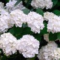 Hydrangea Macrophylla 'Madame Emile Mouillere', Hydrangea Madame Emile Mouillere, Bigleaf Hydrangea Madame Emile Mouillere, Mophead Hydrangea Madame Emile Mouillere, white hydrangea