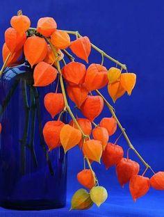 Com laranja