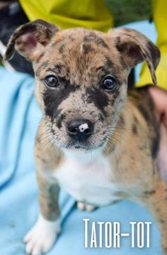 Tator Tot is an adoptable Catahoula Leopard Dog searching for a forever family near Plano, TX. Use Petfinder to find adoptable pets in your area.