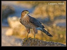 Cooper's Hawk is a medium-sized hawk native to the North American continent and found from Southern Canada to Northern Mexico. As in many birds of prey, the male is smaller than the female. Beautiful Birds, Beautiful World, Cooper's Hawk, Rare Birds, Birds Of Prey, Predator, Eagles, Bald Eagle, Nature
