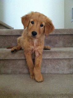 OMG!!! He is the cutest Golden Retriever puppy ever!!!