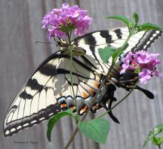eastern tiger swallowtail by patricia pierce, via Flickr