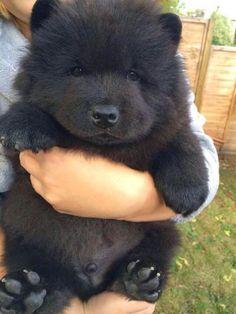 17 photos de chiens qui ressemblent à des ours en peluche ! Certains vont vous…