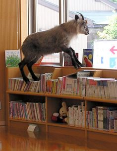 Mount (of books) Goat! I did bring buttercup to the library when I worked there when she was just a day old.