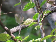 ウグイス. Japanese bush warbler. 15 October 2016.