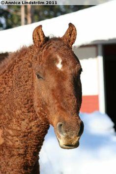 American Curly Horse gelding Sun'ka Wakan