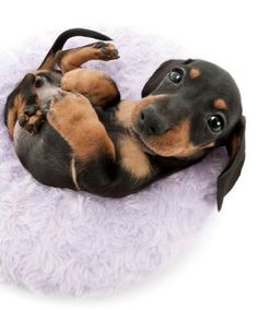 This exclusive T-shirt was designed just for Dachshund Lovers to enjoy! Funny Dachshund, Dachshund Puppies, Weenie Dogs, Dachshund Love, Cute Dogs And Puppies, Doggies, Funny Puppies, Cute Baby Animals, Animals Beautiful