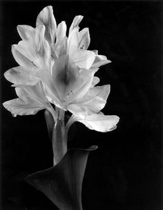 Imogen Cunningham Blossom of Water Hyacinth Negative Space Photography, Art Photography, Flower Photography, Henry Westons, Imogen Cunningham, Water Hyacinth, Ansel Adams, Female Photographers, Black And White Photography