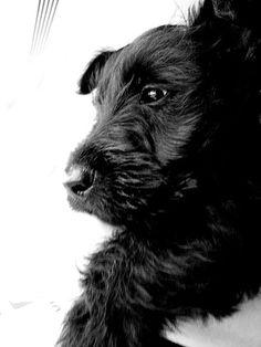 Scottish Terrier, via Flickr.