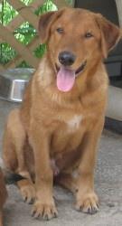 Rhett - Golden Retriever/Shepherd mix - Animal Friends Shelter - Bellville, TX 2 yrs old  http://www.petfinder.com/petdetail/23430896 https://www.facebook.com/BellvilleAFS http://animalfriendsshelter.com/index.html