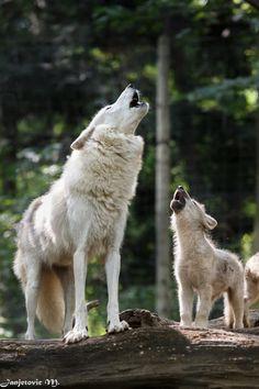 STOP KILLING WOLVES ! l