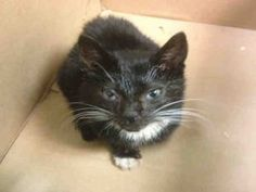 Alice is a boy kitten who is 2 months old, underweight and has a cold!  He needs a foster to give him some TLC so he can feel better!