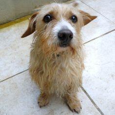 basset fauve de bretagne photo   Cesar : chien croisé basset fauve de bretagne à adopter dans la ...