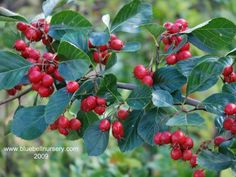 (Broad-leaved Hawthorn) Popular and handsome small tree, Crataegus prunifolia 'Splendens' has probably the finest display of rich orange and crimson autumn colours of any hawthorn. Coastal Gardens, Low Maintenance Garden, Garden Borders, Small Trees, Trees And Shrubs, Berries, Xmas, Colours, Orange