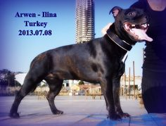 2013.07.08. Arwen İlina Ephesus Black Staffordshire Bull  Terrier female Bosphorus Bulls Kennel Türkiye,İstanbul Facebook/Bosphorus Bulls Youtube/Bosphorus Bulls Kennel