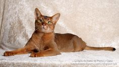 Fotografía de gato Abisinio posando como modelo. Raza de gato (Photograph of cat Abyssinian posing as a model. Cat breed)