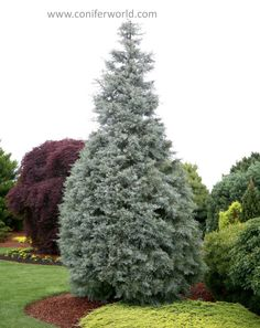 A vigorous, broad, upright tree with powder-blue foliage. In ten years * Originated by Ken Burns, New Zealand in Encyclopedia of Conifers Ken Burns, Conifer Trees, Garden Plants, Arizona, Landscaping, Powder, Blue, Face Powder, Landscape Architecture