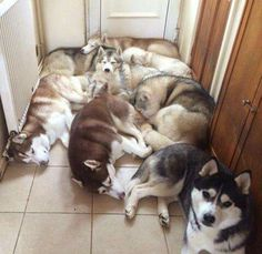 I love this pic ♡ I wish my huskies could be in the same living space at once but they fight even though they are spayed/neutered so I could never have a pic like this with all of them together :(