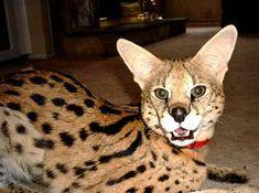 Exotic Cat Breeds - African Serval---I want him! Caracal Kittens, Serval Cats, Cats And Kittens, Exotic Cat Breeds, Exotic Cats, Exotic Animals, African Serval Cat, Cat Brain, Warrior Cats Books