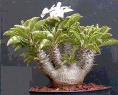 Graines Pachypodium Saundersii (Graines Caudex) See more at : http://www.rarexoticseeds.com/fr/graines-adenium/graines-pachypodium-saundersii-graines-caudex.html