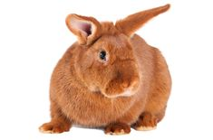 Easy going and friendly, the gorgeous New Zealand Red rabbits make excellent family pets. Farm Animals, Funny Animals, Red Hair Day, Rabbit Pellets, Rabbit Information, New Zealand Rabbits, House Rabbit Society, Rabbit Colors, Rabbit Breeds