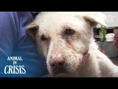 Dog Cries & Looks Around For Owner Everyday Without Knowing Her Death Animals And Pets, Cute Animals, Shedding Tears, Dog Crying, Youtube, Animal Rescue, My Hero, Dogs And Puppies, Death