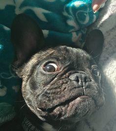 French Bulldog Mr.Robert - frenchie love