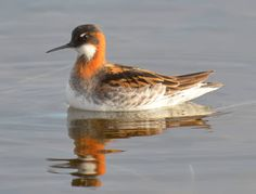 Red-necked Phalarope by *nordfold on deviantART