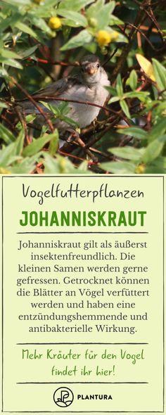 Johanniskraut ist sehr insektenfreundlich. Getrocknet können die Blätter an Vögel verfüttert werden. #johanniskraut #insekten #vögel Freundlich, Movie Posters, Insects, Plants, Lawn And Garden, Film Poster, Popcorn Posters, Film Posters