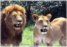 big cats pics   youngestindia: The 10 most dangerous animals in the world