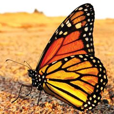 Every year, about 60 million to 1 billion monarchs migrate from eastern North America to the Sierra Madre Mountains of central Mexico. These frequent flyers sometimes rack up about 80 miles a day, spreading out their journey across two months.