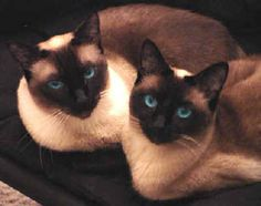 Siamese Cats Applehead The Traditional Siamese (aka Applehead Siamese) - The cat owner must have placed him like that or the cat must have been lazy . These pic are a funny take on how cats sit like humans. Siamese Kittens, Cute Cats And Kittens, I Love Cats, Crazy Cats, Cool Cats, Kittens Cutest, Pretty Cats, Beautiful Cats, Buy A Cat