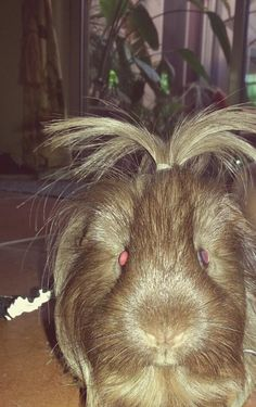My Oliver. Cutest Guinea pig ever I know :)