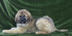 Owczarek kaukaski - suczka urodzona 16 października 2013 - Hodowla Psów Rasowych