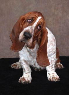 It is hard not to love a Basset Hound. www.patricknau.com #BassetHound #portraits #dogs #pets