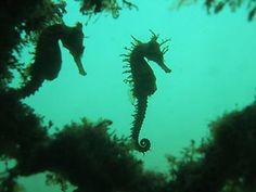 seahorse silhouette ~ nature's delicate, gentle endangered beauties!!!