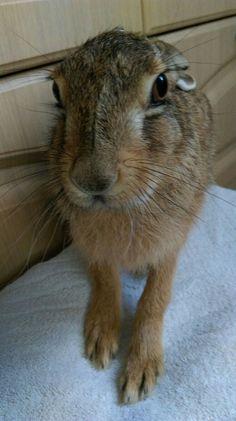 Princess Hoppolina - European brown hare