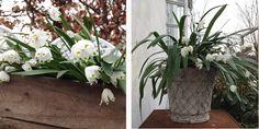 Havedrømme: Dorotealiljer i fuld flor